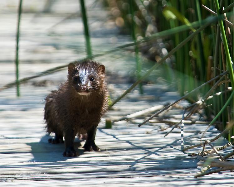 Beaver, Nutria,  and Mink