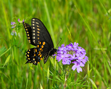 A Black Swallowtail on a wild Verbena