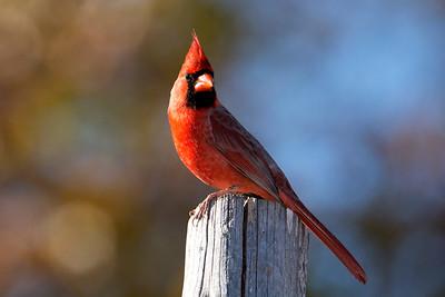 A Northern Cardinal Male