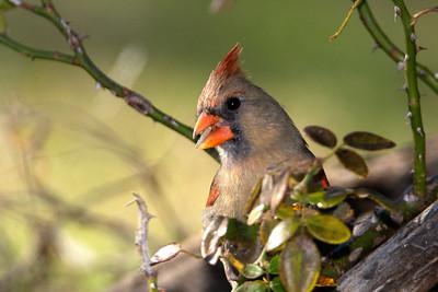 A Northern Cardinal Female