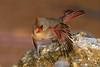 Cardinal in Flight