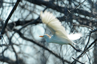 Great Egret    This image is protected by U. S. copyright laws so it cannot be copied, downloaded, or reproduced by any means without the formal written permission of Mark Chapman at Country Images.