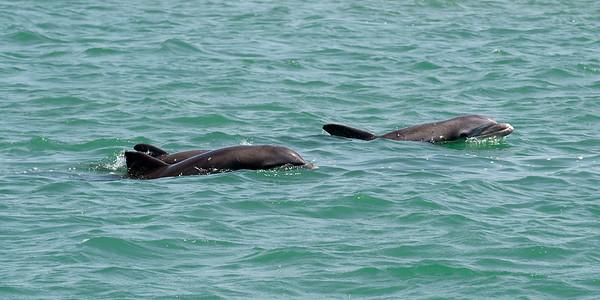 Dolphins at Port Aransas