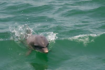 Dolfin Surfing