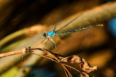 A Dragonfly landing on a twig.  This image was shot at Lake Waco, Texas.  Image # 80060_0177