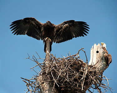 Lake Waco Bald Eagle family 6-13-2014
