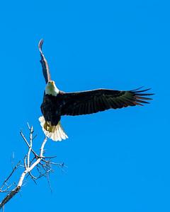 Bald Eagle Ballet