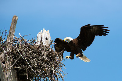 Lake Waco Bald Eagle family 5-20-2014