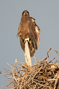 Lake Waco Bald Eagle Family 6-14-2014