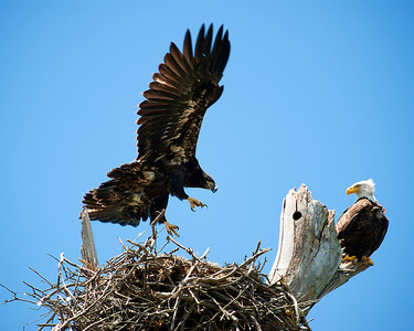 Lake Waco Bald Eagle family 6-10-2014