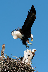 Lake Waco Bald Eagle family 5-14-2014