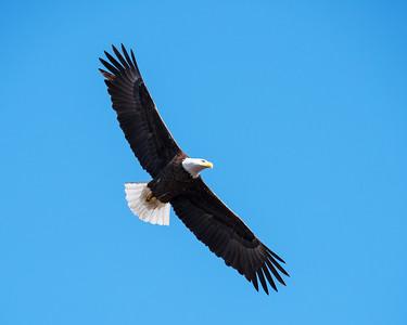 Eagles at Lake Waco 2018