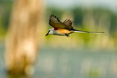 Scissor-tailed Flycatcher at Lake Waco, Texas   This image is protected by U. S. copyright laws so it cannot be copied, downloaded, or reproduced by any means without the formal written permission of Mark Chapman at Country Images.