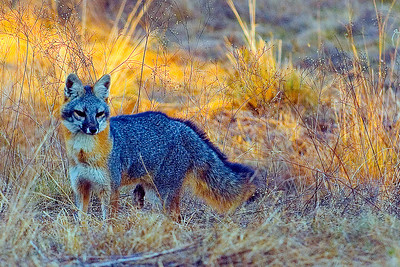 A very curious Grey Fox searching for a meal.  Image was captured in Coryell County, Texas.   This image is protected by U. S. copyright laws so it cannot be copied, downloaded, or reproduced by any means without the formal written permission of Mark Chapman at Country Images.