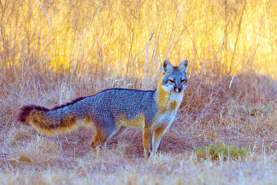 A very curious grey fox searching for a meal.
