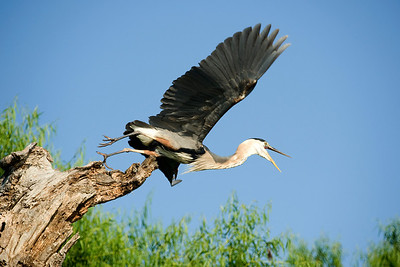 A Great Blue Heron screams as he takes flight, along the North Bosque river.    This image is protected by U. S. copyright laws so it cannot be copied, downloaded, or reproduced by any means without the formal written permission of Mark Chapman at Country Images.