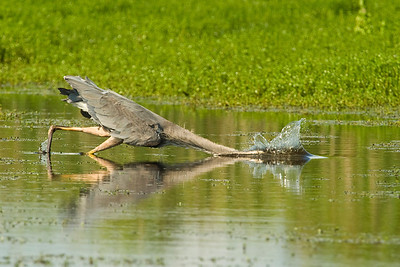 A Great Blue Heron dives for a meal.    This image is protected by U. S. copyright laws so it cannot be copied, downloaded, or reproduced by any means without the formal written permission of Mark Chapman at Country Images.