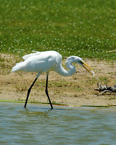 A Great Egret catching a small fish in a pond on Mustang Island, Texas.   This image is protected by U. S. copyright laws so it cannot be copied, downloaded, or reproduced by any means without the formal written permission of Mark Chapman at Country Images.