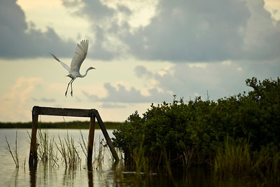 A Great Egret takes off from its perch near Aransas Pass, Texas.    This image is protected by U. S. copyright laws so it cannot be copied, downloaded, or reproduced by any means without the formal written permission of Mark Chapman at Country Images.