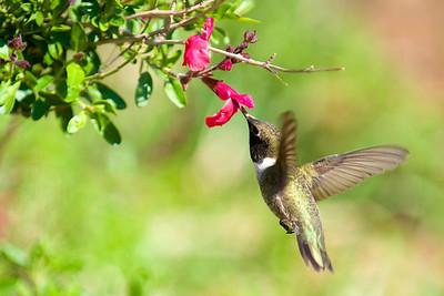 A Black-chinned male hummingbird feeding on a salvia  Image # 50052_0001