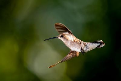 Black-chinned female hummingbird