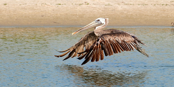 A Brown Pelican