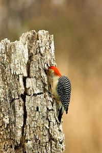 Red-Bellied Male Woodpecker