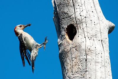 Red-bellied Woodpecker Family on Reynolds Creek  6-13-2014