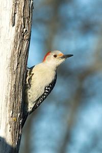 Red-Bellied Female Woodpecker