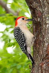 Red-bellied Woodpecker Male