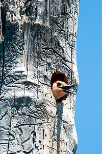 Red-Bellied Woodpecker at Renolds Creek 4-15-2014