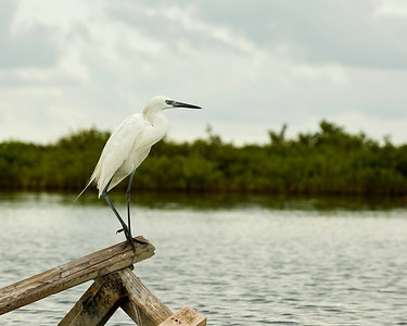 A Great Egret at Lighthouse Lakes, near Aransas Pass, Texas.    This image is protected by U. S. copyright laws so it cannot be copied, downloaded, or reproduced by any means without the formal written permission of Mark Chapman at Country Images.
