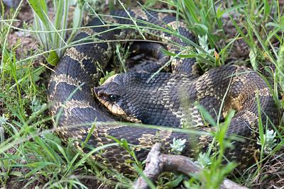 Southern Hognose Snake