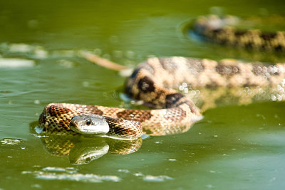A Diamondback Water Snake swimming across the North Bosque River in McLennan County, Texas.  This image is protected by U. S. copyright laws so it cannot be copied, downloaded, or reproduced by any means without the formal written permission of Mark Chapman at Country Images.