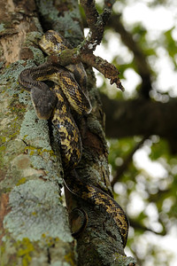 A rat snake in a hackberry tree.