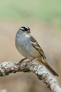 A White Crowned Sparrow   This image is protected by U. S. copyright laws so it cannot be copied, downloaded, or reproduced by any means without the formal written permission of Mark Chapman at Country Images.