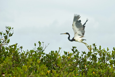 A Tricolored Heron takes flight near Port Aransas, Texas.   This image is protected by U. S. copyright laws so it cannot be copied, downloaded, or reproduced by any means without the formal written permission of Mark Chapman at Country Images.
