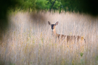 A Doe in the Grass