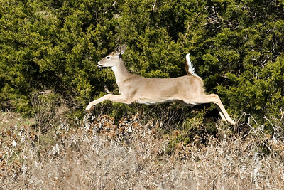 Leaping Doe