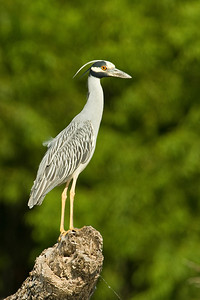 Yellow-Crowned Night-Heron    This image is protected by U. S. copyright laws so it cannot be copied, downloaded, or reproduced by any means without the formal written permission of Mark Chapman at Country Images.