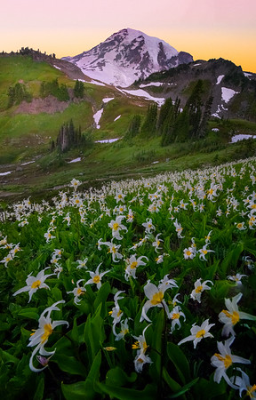 Avalanche Lily In Paradise Meadows - Paradise Meadows, Mount Rainier National Park, WA