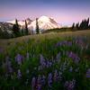 Lupine Sunrise And Alpenglow - Mount Rainier National Park, WA