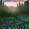 Looking Down Valley Of Lupine_Mount Rainier National Park_Washington