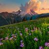 Purple Aster Mt Rainier -Sunrise Side, Mount Rainier National Park, Washington
