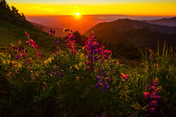 Lupine Rim Glow At Sunset -Tolmie Peak, Mount Rainier National Park, WA