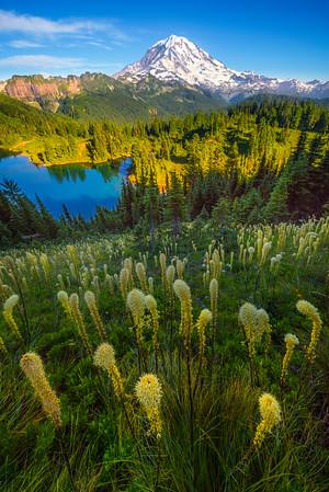 Vertical Beargrass On Way Up To Tolmie Peak -Tolmie Peak, Mount Rainier National Park, WA