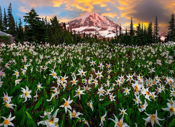 Avalanche Meadows Lit Up At Sunset -  Spray Park, Mt Rainier National Park, WA