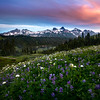 Lupine Meadow Facing Tatoosh Range - Mount Rainier National Park, WA