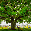 Under The Great Oak At Cementry