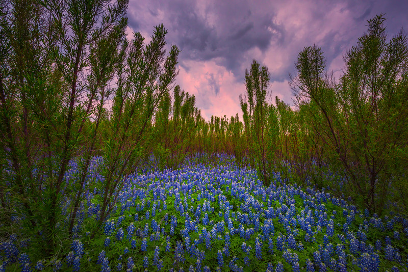 Blue Bonnets And Pink Skies
